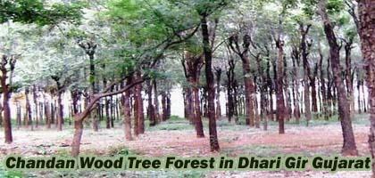 Chandan Wood Tree Forest in Dhari Gir Gujarat - Sandalwood Tree