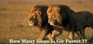 How Many Lions in Gir Forest - Total Number of Lions in Gir Forest Gujarat India