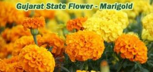 Which is State Flower of Gujarat India - Marigold (Galgota) Photos - Types Of Marigold Flower