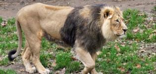 Asiatic Lion in Gir Forest Photos Images Pictures Latest News